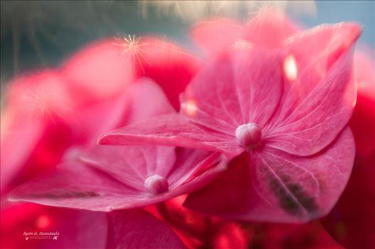 Hydrangea by Agata W. Kwasniewska Photography