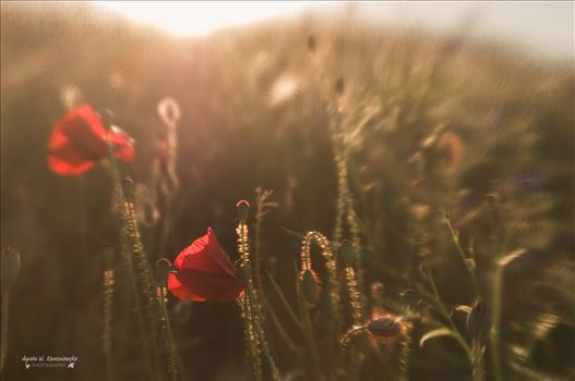 Poppies by Agata W. Kwasniewska Photography