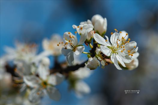 Blooming tree by Agata W. Kwasniewska Photography