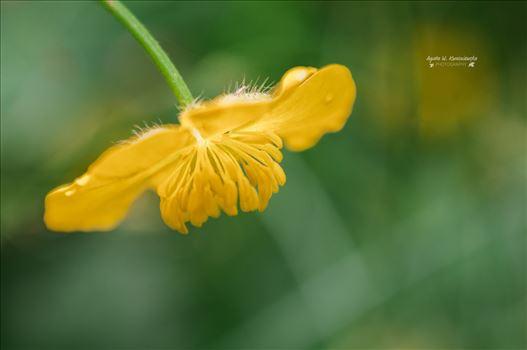 Marsh marigold by Agata W. Kwasniewska Photography