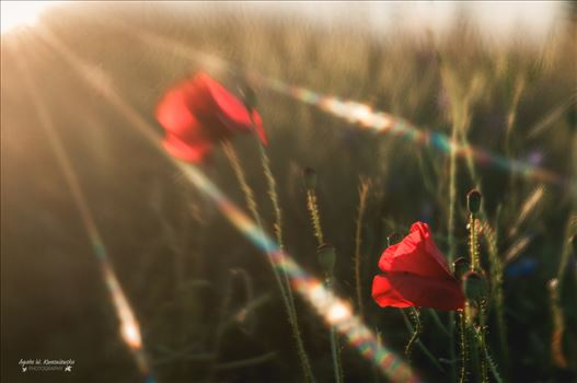 Flares over the poppies by Agata W. Kwasniewska Photography