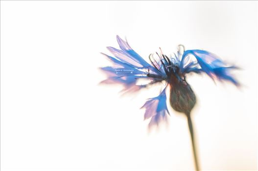 Cornflower by Agata W. Kwasniewska Photography