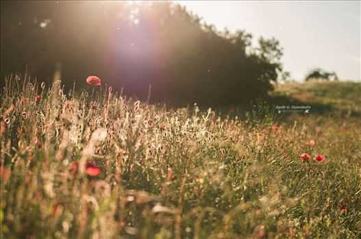 A meadow with poppies by Agata W. Kwasniewska Photography