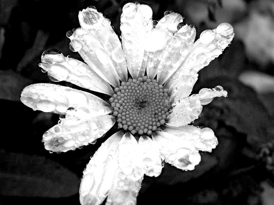 Black and white Daisy  by Lewis & Co. Photography