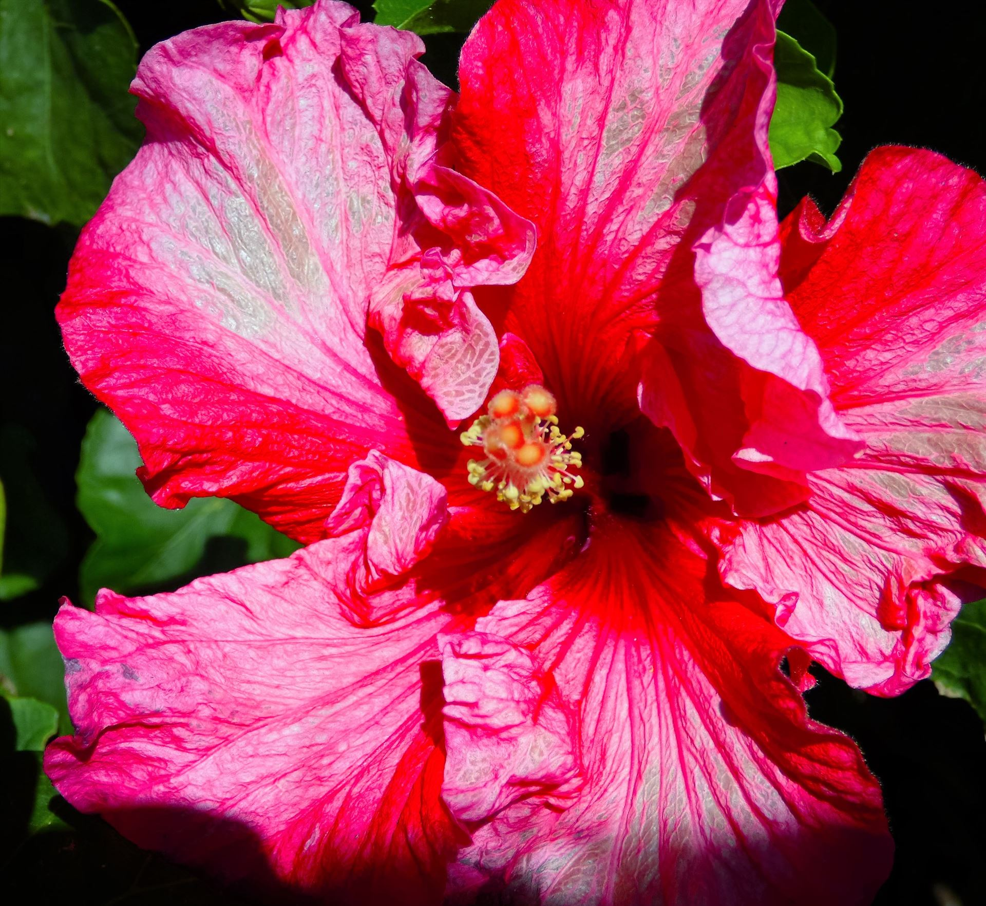 Hibiscus  by Lewis & Co. Photography