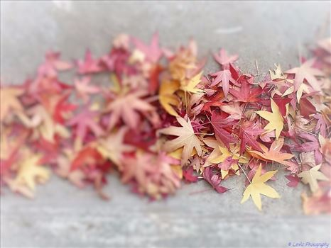 Autumn Leaves by Lewis & Co. Photography