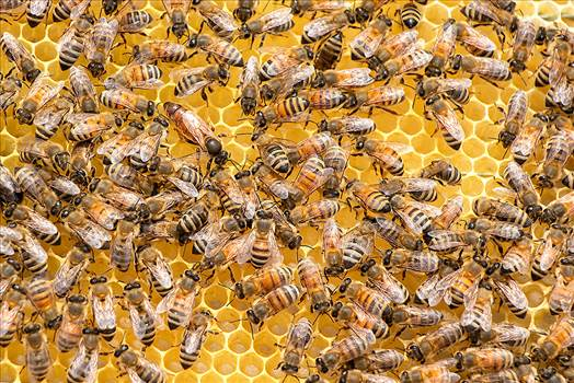 Find out how an engineered bacteria could protect bees health.png -