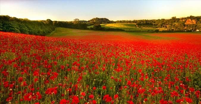 poppy-fields-remembrance-day-5.jpeg by frankbunce