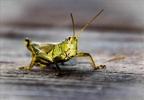 Grasshopper (1 of 1).jpg by WPC-9