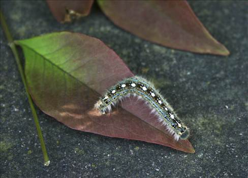 Caterpillar.jpg by WPC-9