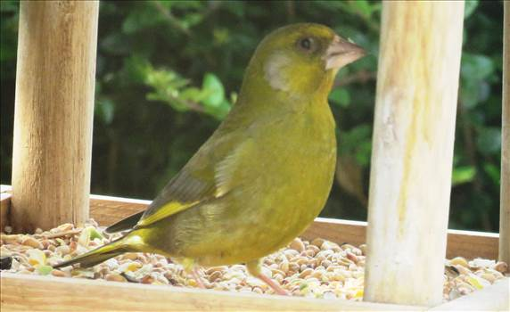 Greenfinch.jpg by Karnataka