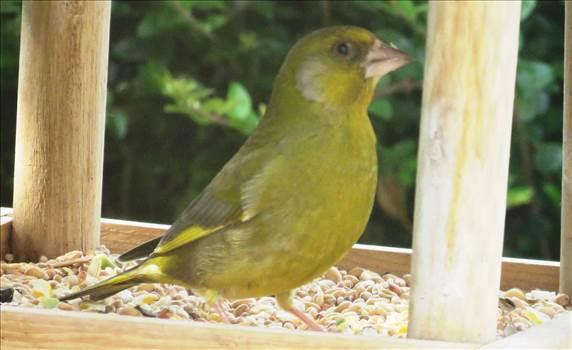 Greenfinch.jpg -