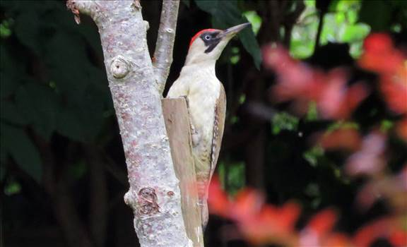 Green Woodpecker Juvenile.jpg by Karnataka
