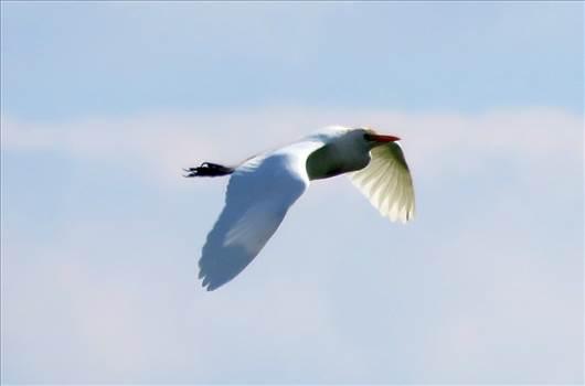 Cattle Egret.jpg -