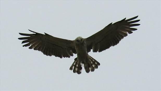 Short-Toed Eagle Hovering.jpg -