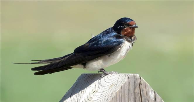 Barn Swallow.jpg by Karnataka