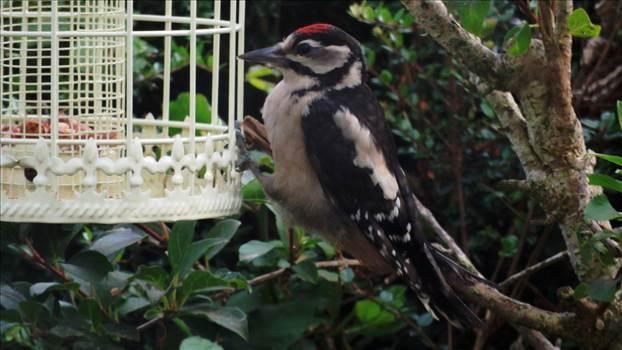 GS Woodpecker Juvenile.jpg -