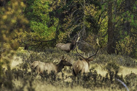 And in This Corner - Watching bull elk in the rut can be intense at times.  This was one of those moments, as the challengers came out of the timber.  It felt like a heavyweight boxing match was about to break out.