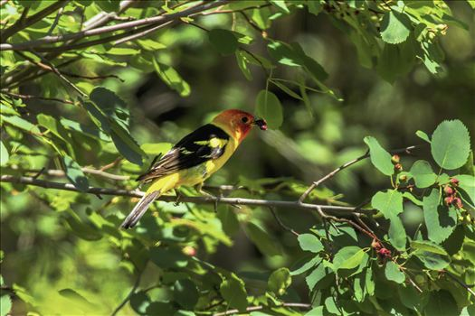 Western Tanager with Dinner by Bear Conceptions Photography