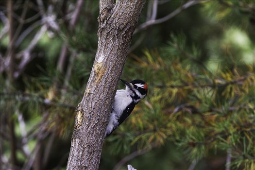 Downy Woodpecker 098.jpg by Bear Conceptions Photography