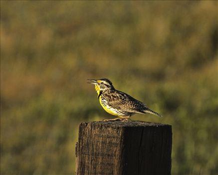 Meadowlark 018.jpg -