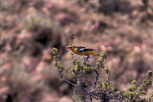 Bullocks Oriole in the Sage 002.jpg by Bear Conceptions Photography