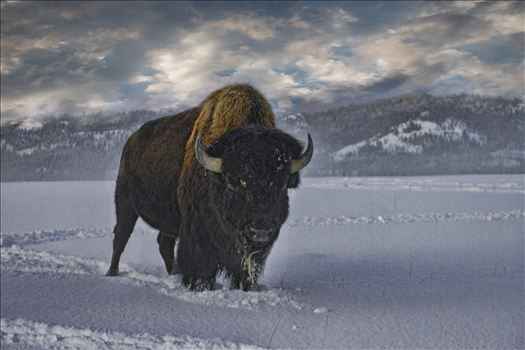 Bull Buffalo in Snow by Bear Conceptions Photography