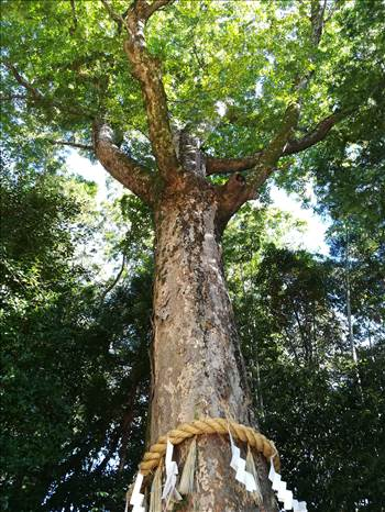 Uji_sacred_tree.jpg by Cantaloupe1