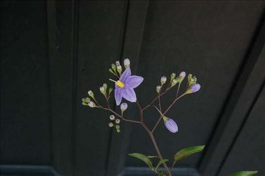 Jasmine nightshade_Solanum jasminoides.jpg by Cantaloupe1