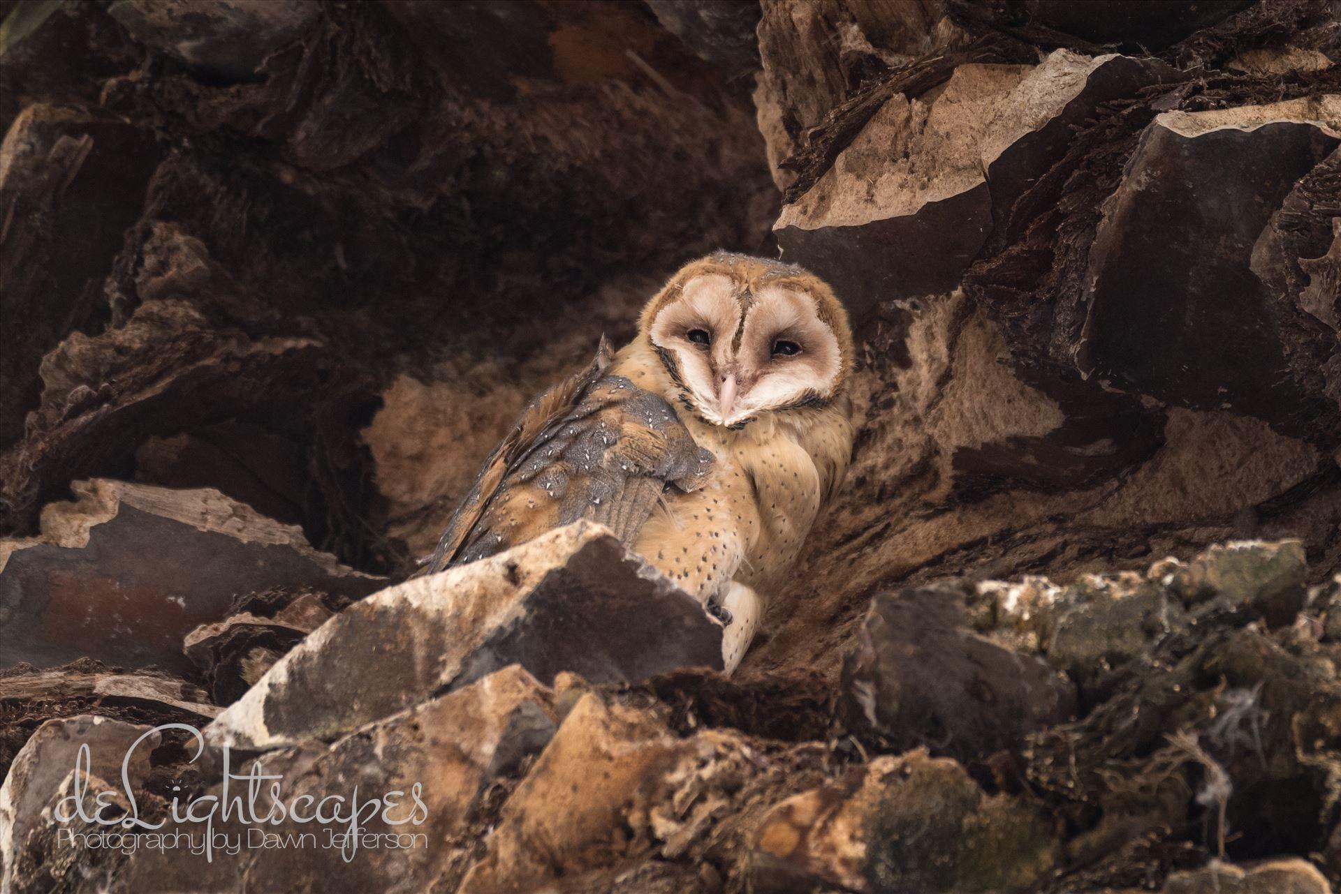 Barn Owl  by Dawn Jefferson