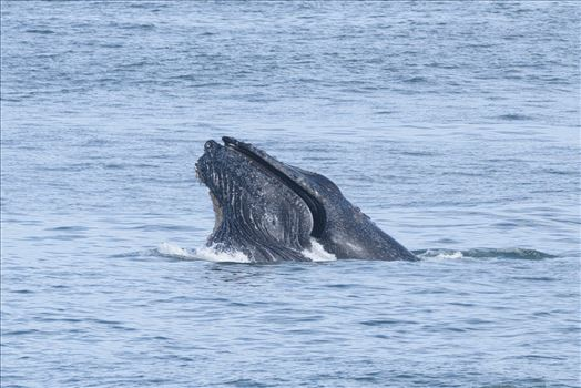 Humpback Whales Lunge Feeding 4 by Dawn Jefferson