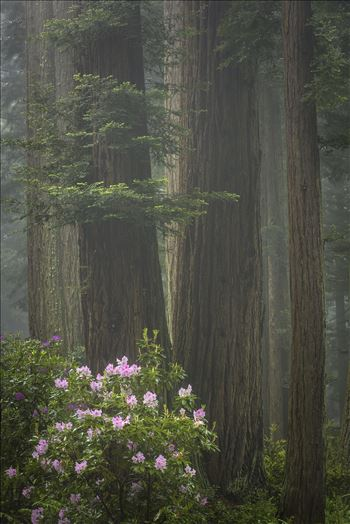Redwoods and Rhododendrons by Dawn Jefferson