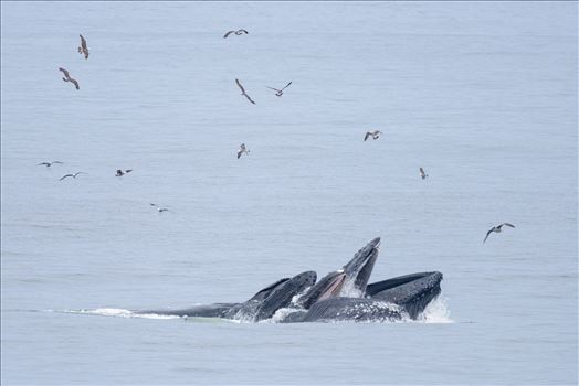 Humpback Whales Lunge Feeding 2 by Dawn Jefferson