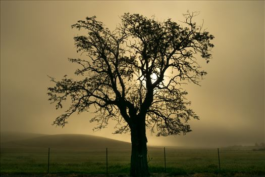Oak Tree in Silhouette by Dawn Jefferson