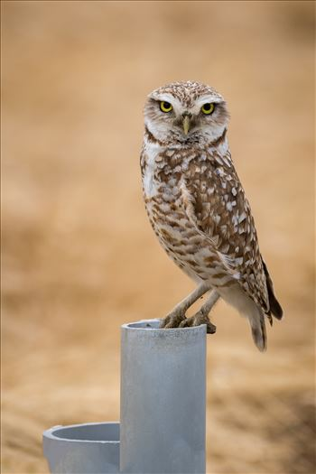 Burrowing Owl by Dawn Jefferson
