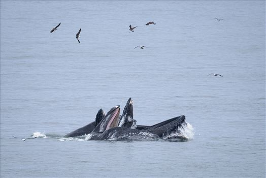 Humpback Whales Lunge Feeding 1 by Dawn Jefferson