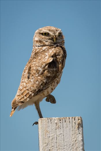 Burrowing Owl in Repose by Dawn Jefferson