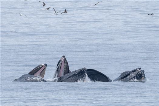 Humpback Whales Lunge Feeding 3 by Dawn Jefferson