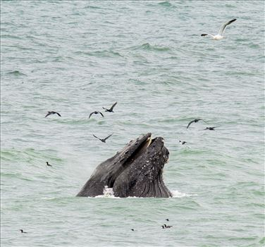Humpback Whales Lunge Feeding 7 by Dawn Jefferson