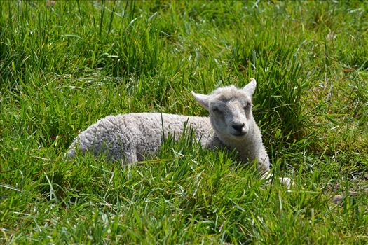 Little lambs by Alana