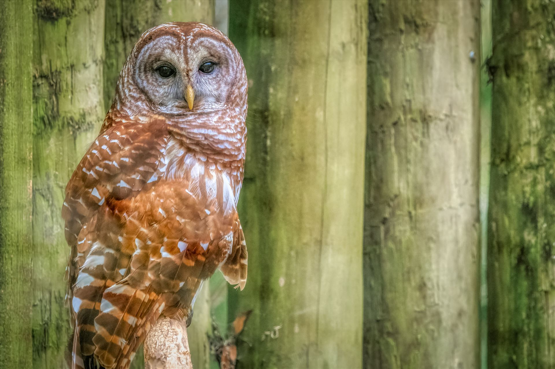 Barred Owl Perched Barred Owl staring by Terry Kelly Photography