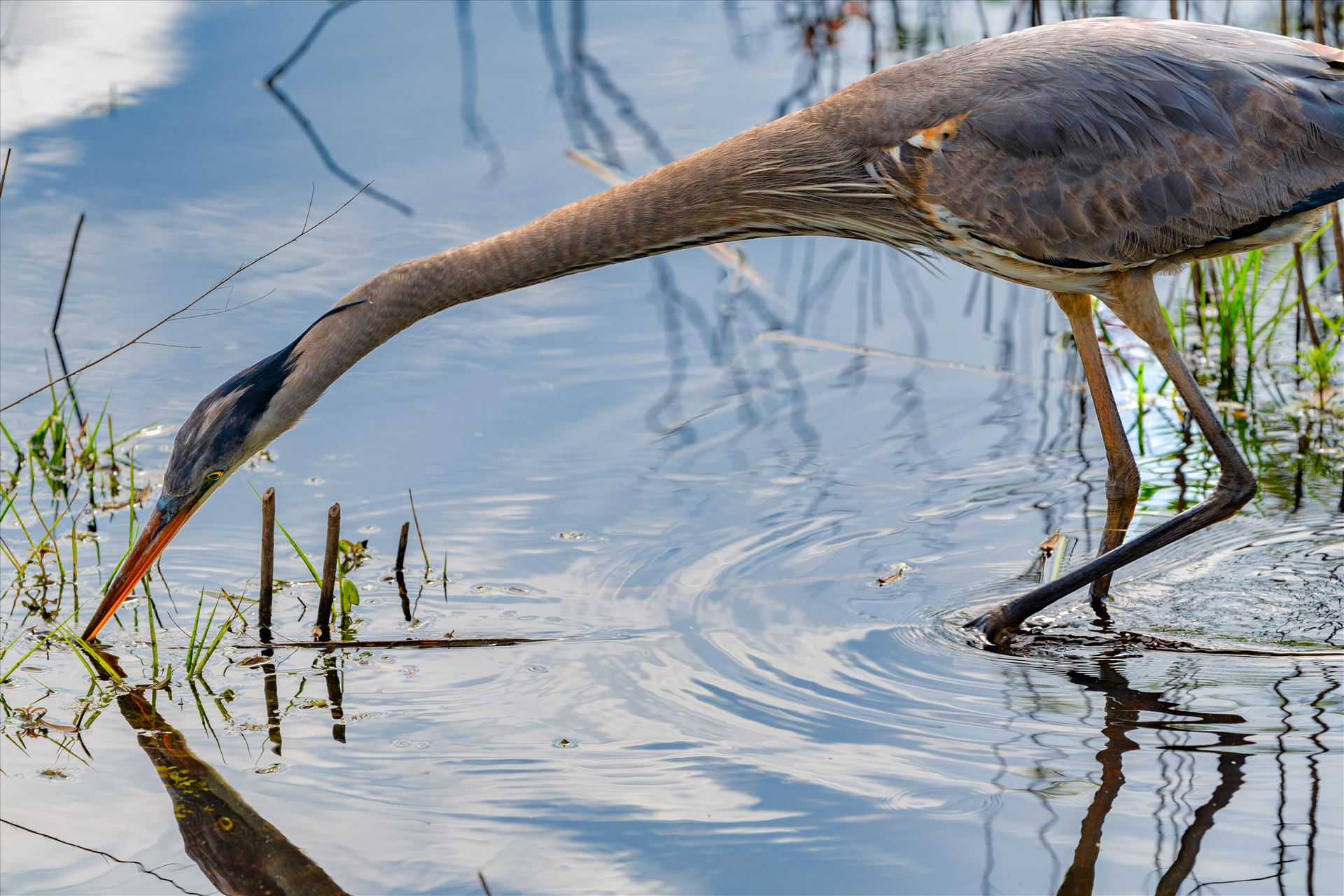 great blue heron great blue heron fishing in gator lake at St. Andrews State Park, Florida by Terry Kelly Photography