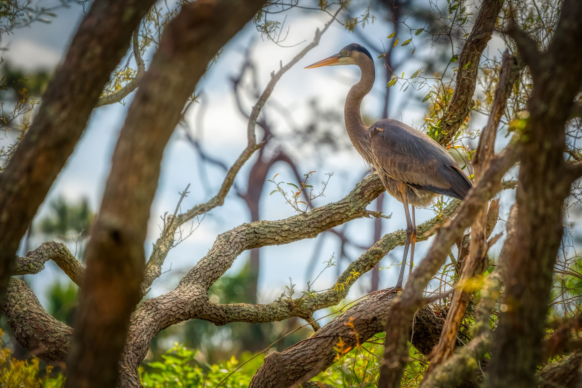 great blue heron great blue heron standing on oak tree near gator lake at St. Andrews State Park, Florida by Terry Kelly Photography