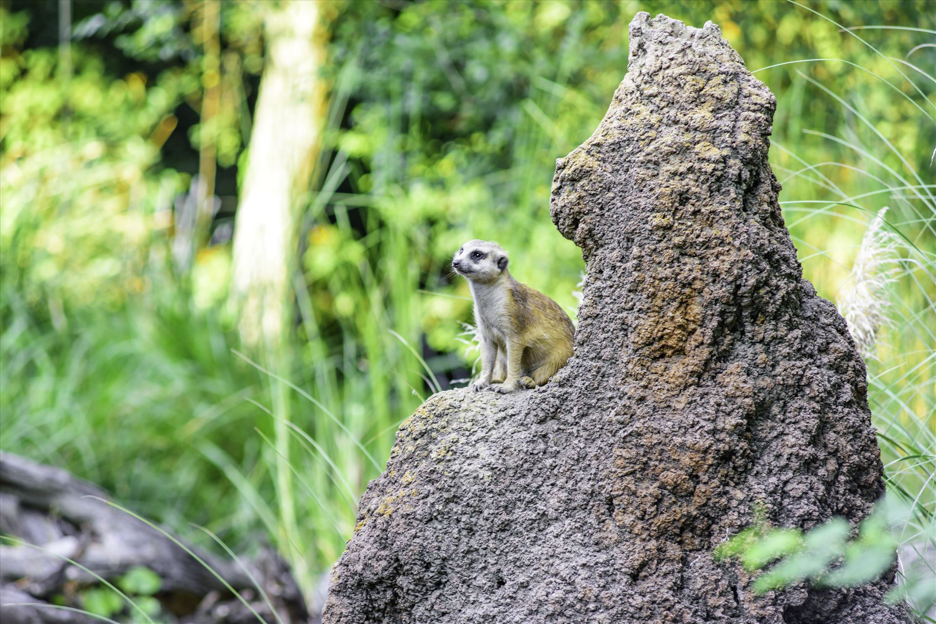 _RAW0193.jpg Meerkat on lookout on top of mound by Terry Kelly Photography