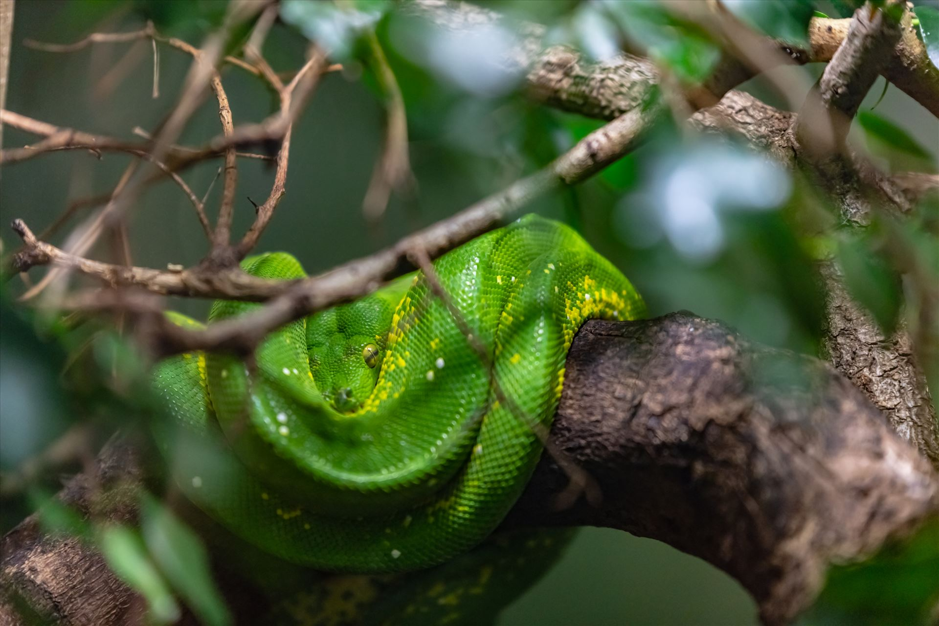 green tree python 8501457 ss as sf.jpg green tree python wrapped around tree limb by Terry Kelly Photography