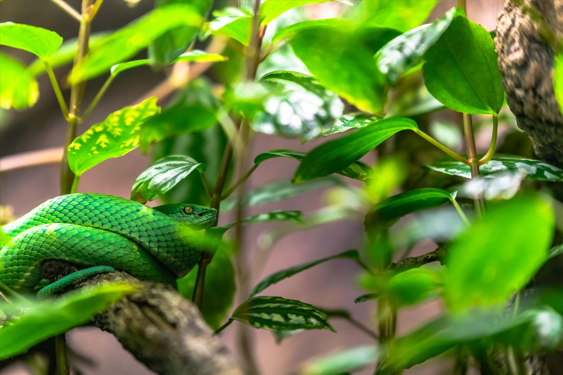 side striped pit viper.jpg Side striped pit viper wrapped around small branch of tree by Terry Kelly Photography