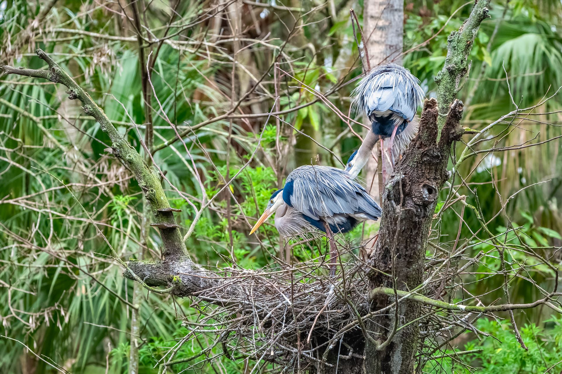 great blue heron two great blue heron looking over their nest by Terry Kelly Photography