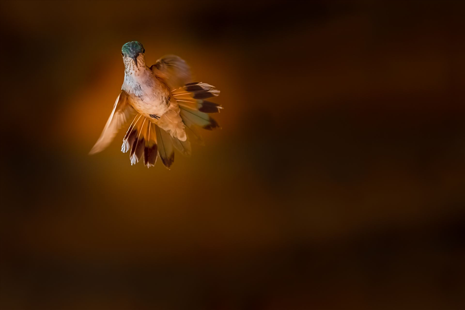 hummingbird in flight sf.jpg Hummingbird in flight Cloudcroft, New Mexico by Terry Kelly Photography
