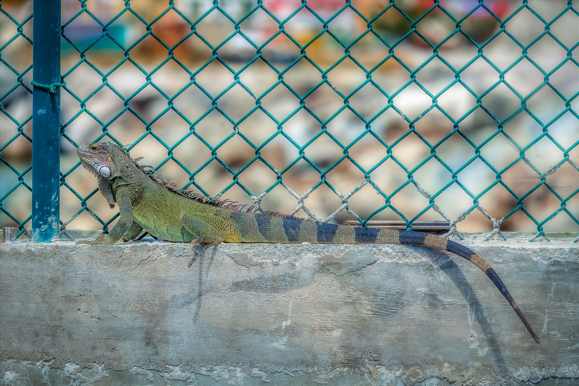 Iguana Iguana sitting on concrete next to green chainlink fence by Terry Kelly Photography