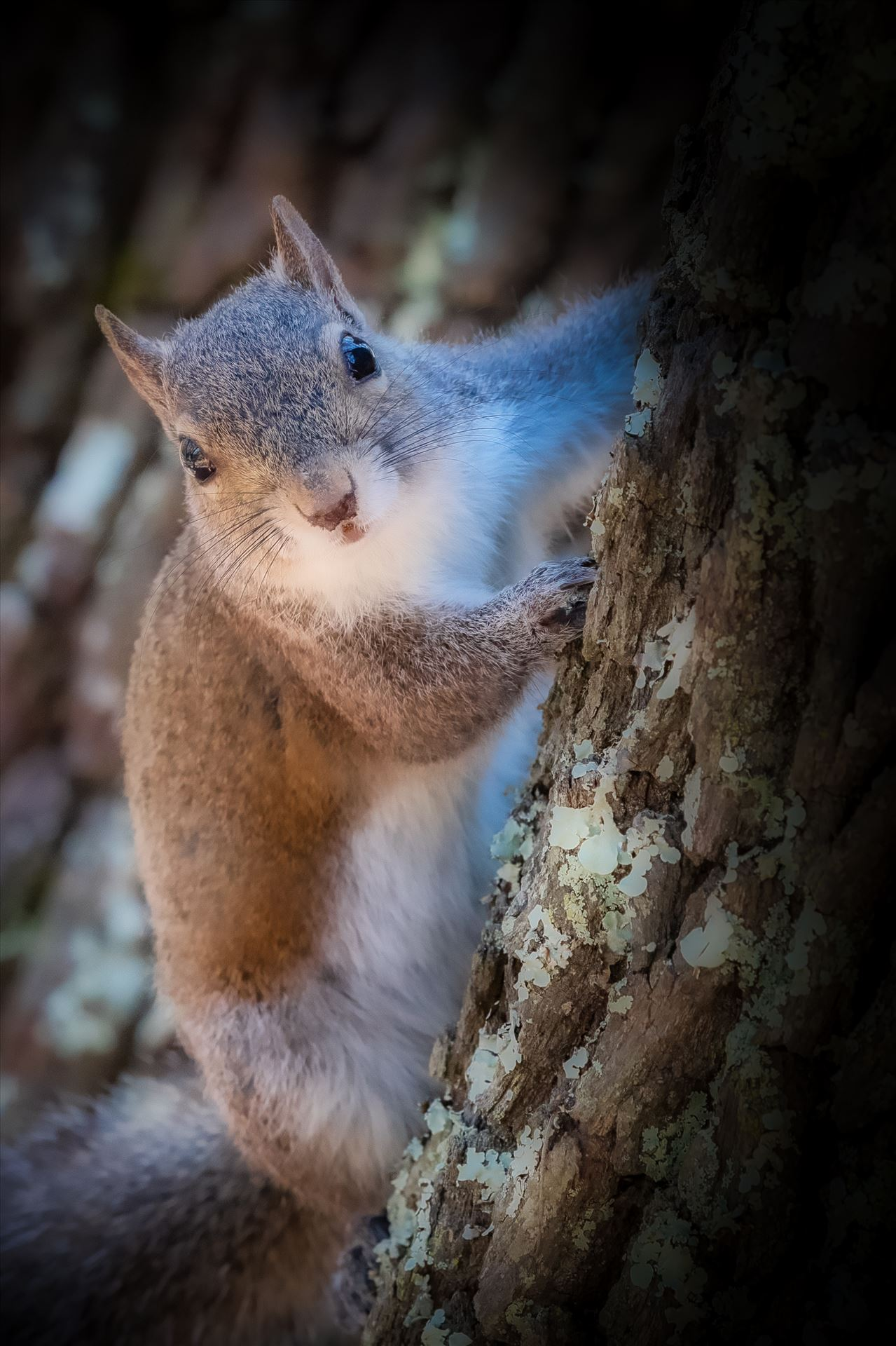 Squirrel Close up of squirrel peeking out from behind oak tree by Terry Kelly Photography
